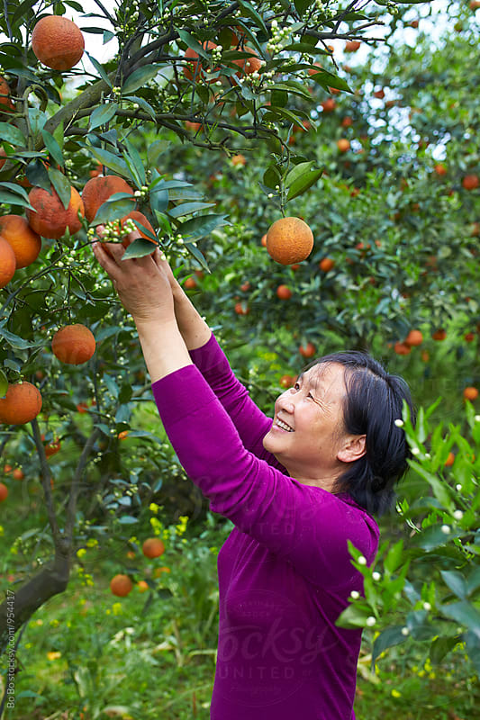 Chinese woman picking orange in the orange farm by Bo Bo for Stocksy United