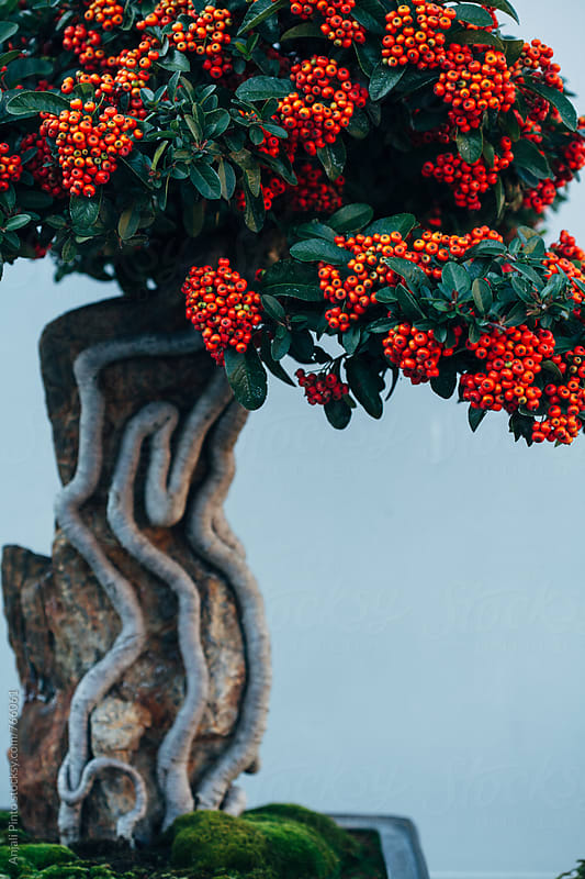Botanic Garden Scenes - Bonsai Tree by Anjali Pinto for Stocksy United