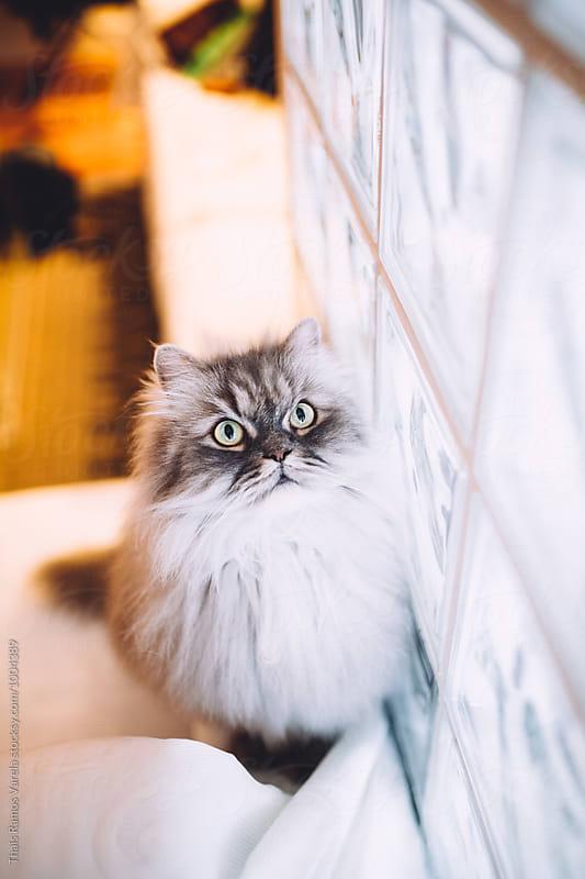 flufffy cat portrait by Thais Ramos Varela for Stocksy United