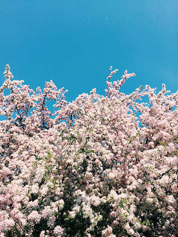 Cherry blossom trees in the spring by Chelsea Victoria for Stocksy United
