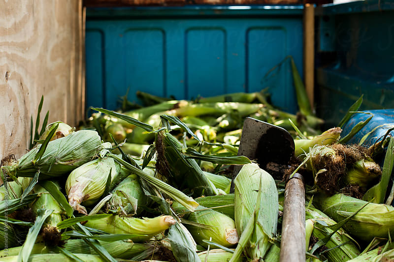 Corn in the husk in the back of a blue pick up truck by J Danielle Wehunt for Stocksy United