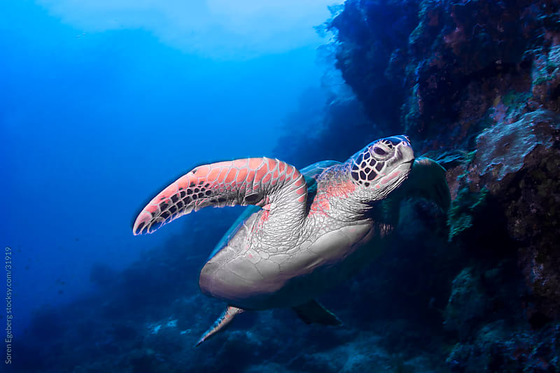 Sea turtle swimming underwater over a coral reef on blue water background by Søren Egeberg Photography for Stocksy United