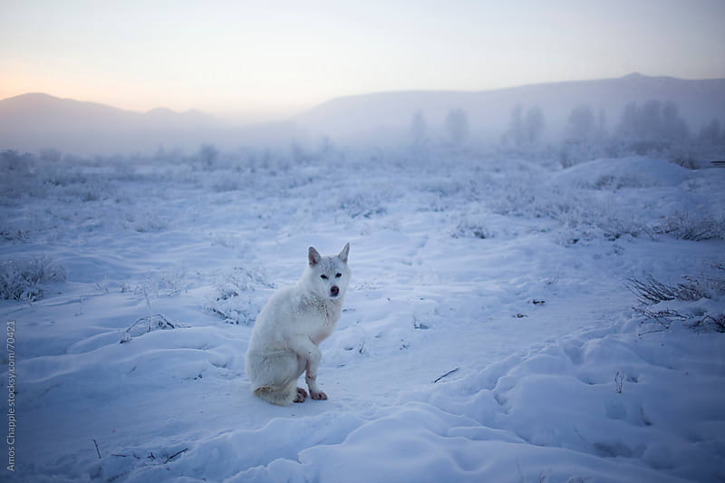A dog outside on a -45c day in Siberia.  by Amos Chapple for Stocksy United