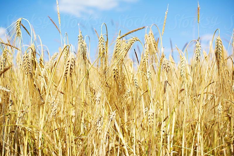 Barley field by Harald Walker for Stocksy United