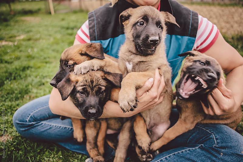 Little Belgian Malinois dogs by Peter Meciar for Stocksy United