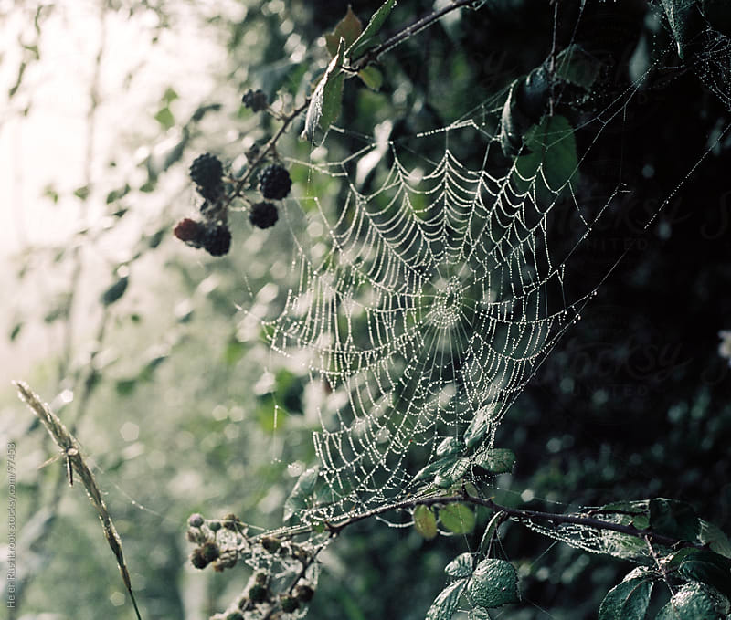 Brambles and Cobwebs on a Misty morning by Helen Rushbrook for Stocksy United