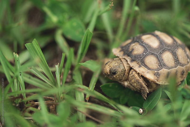 A Small Gopher Tortoise Comes Out Of His Shell by Alison Winterroth for Stocksy United