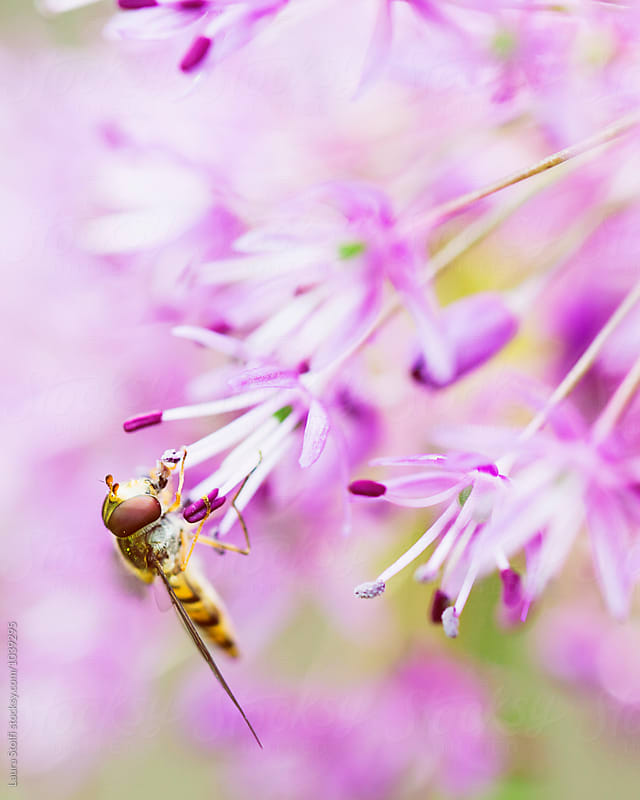 Extrem eclose up of hoverfly drinking from allium flower by Laura Stolfi for Stocksy United