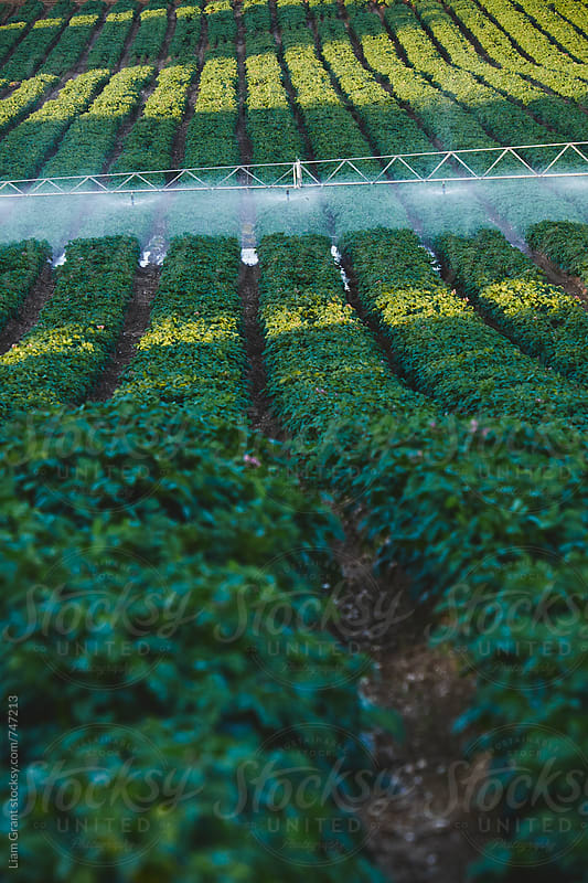 Irrigation system watering rows of potato plants at sunset. Norfok, UK. by Liam Grant for Stocksy United