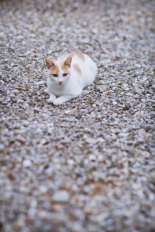 Lensbaby catch of white tabby cat laying in garden by Laura Stolfi for Stocksy United
