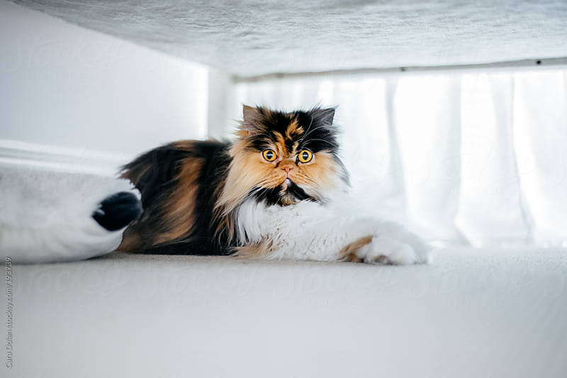 Calico Persian cat hangs out under the bed by Cara Dolan for Stocksy United