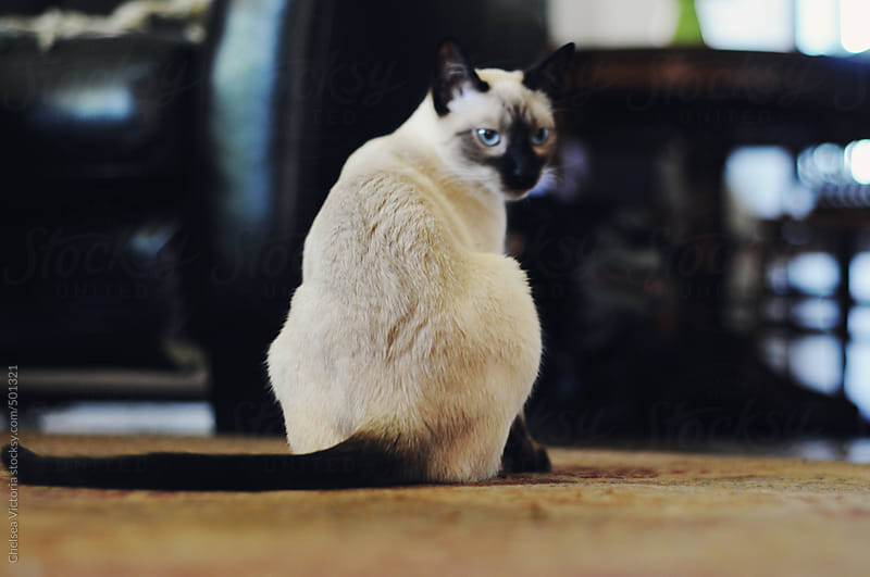 A Siamese cat sitting on the floor  by Chelsea Victoria for Stocksy United