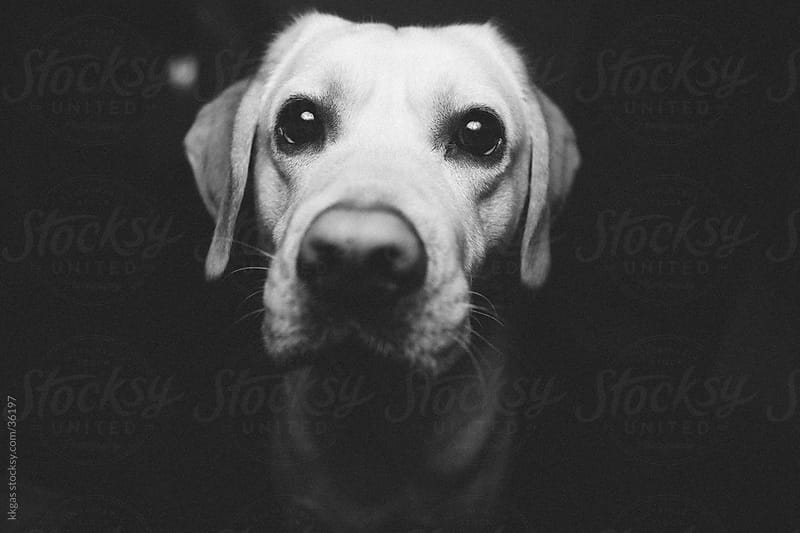 Labrador dog by kkgas for Stocksy United