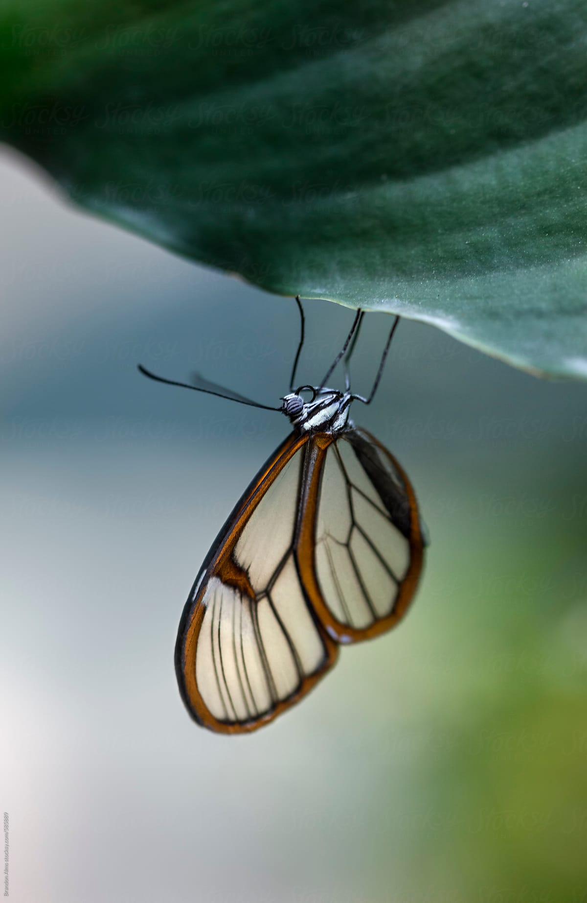 Glasswinged Butterfly Macro Stocksy United