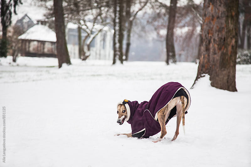 Whippet do Playing at Snow by Alie Lengyelova for Stocksy United