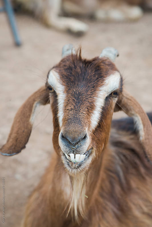 Portriat of a goat with bad teeth by Gary Parker for Stocksy United