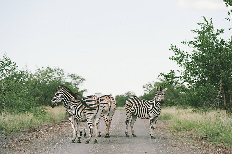 Zebra Crossing by Bruce and Rebecca Meissner for Stocksy United