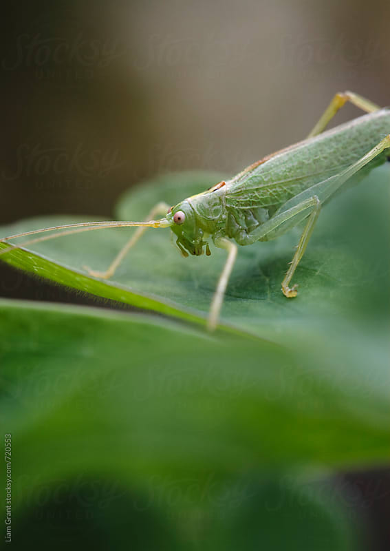 A male Oak Bush Cricket (Meconema thalassinum). Norfolk, UK. by Liam Grant for Stocksy United