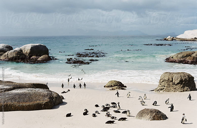 Boulders Beach Penguins in South Africa by Vicki Grafton Photography for Stocksy United