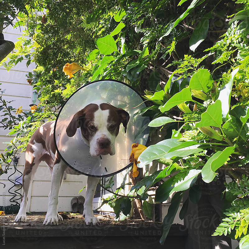 Dog does not like his cone of shame. by Lucas Saugen for Stocksy United