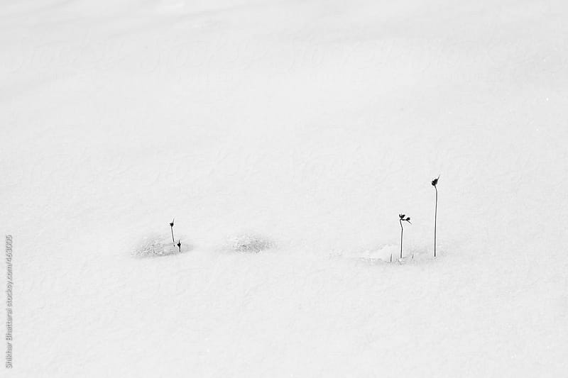 Minimalistic shot of dry plant popping out of the snow. by Shikhar Bhattarai for Stocksy United