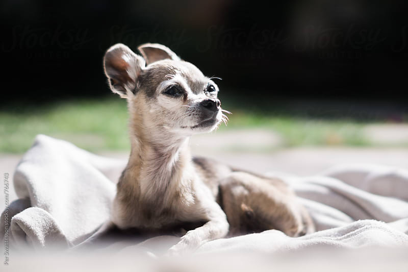 Chihuahua dog chilling out on a blanket by Per Swantesson for Stocksy United