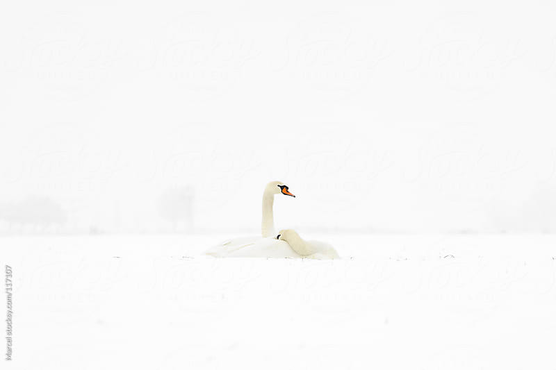 Romantic swan couple in the snow by Marcel for Stocksy United