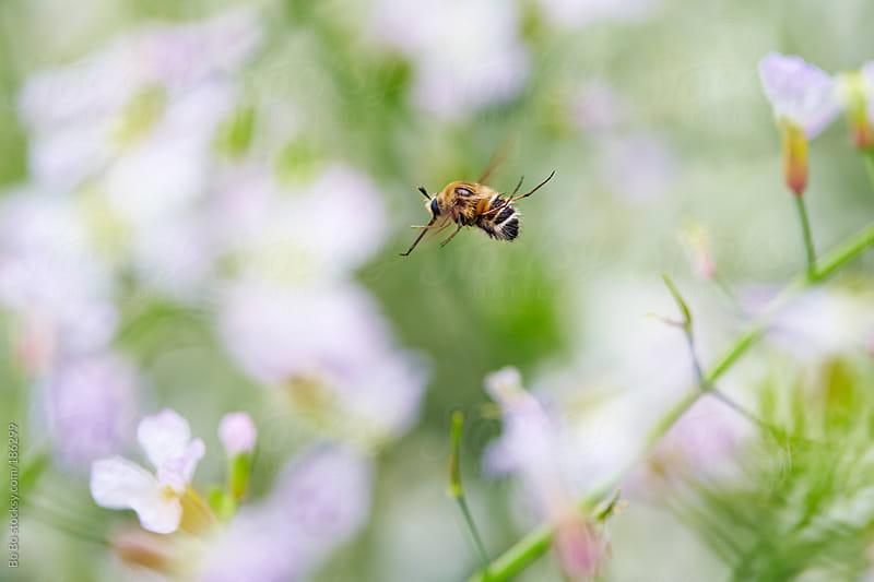 bee flying in flowers by Bo Bo for Stocksy United