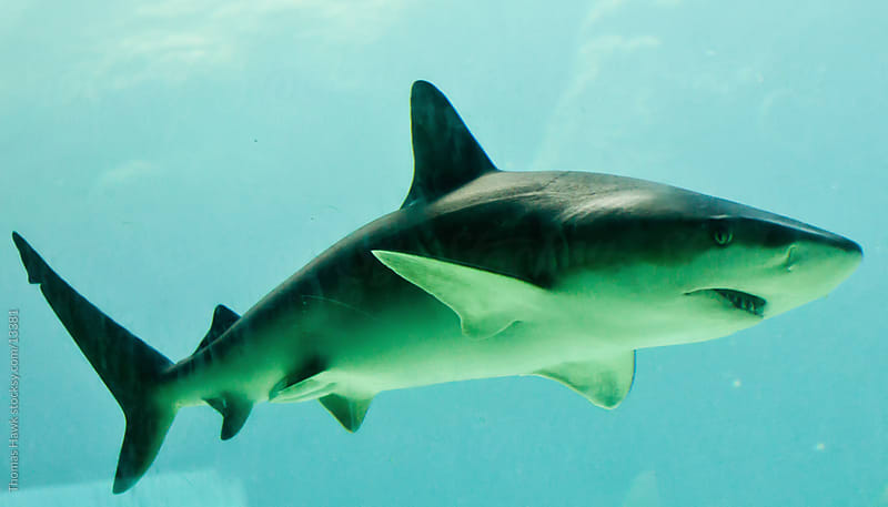 Shark by Thomas Hawk for Stocksy United