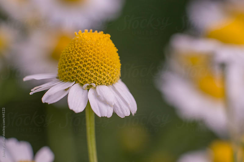 small flower of chamomile by Javier Pardina for Stocksy United