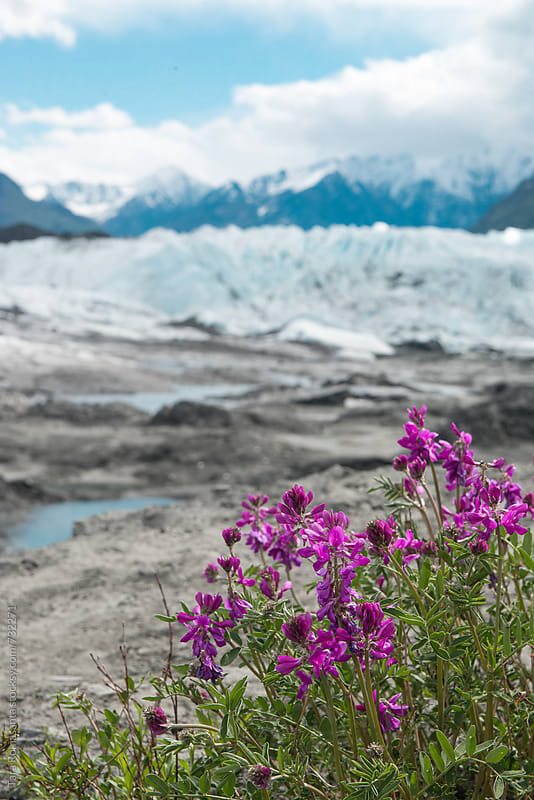 sweet pea wildflowers in front of a glacier by Tara Romasanta for Stocksy United