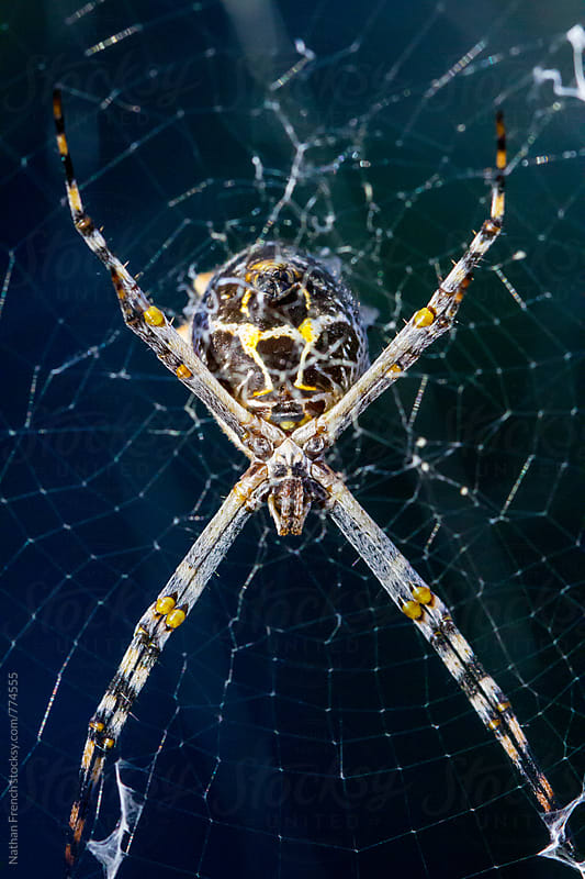 Orb Weaver Spider by Nathan French for Stocksy United