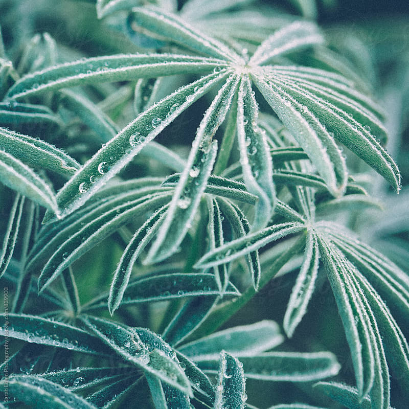 Water drops in Lupine leaves by Sarah Ehlen Photography for Stocksy United