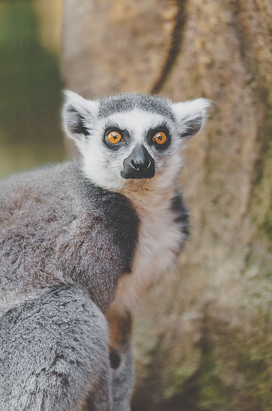 ring-tailed lemur by Andreas Gradin for Stocksy United