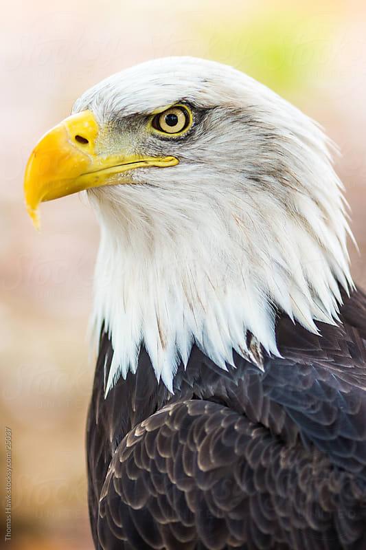 American Bald Eagle by Thomas Hawk for Stocksy United