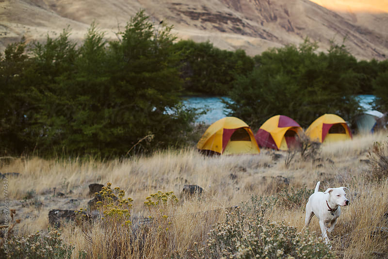 White dog patrols a river camp site with tents set up in background. by Kate Daigneault for Stocksy United
