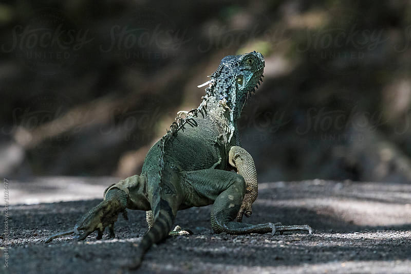 Green Iguana walking under tree shade beside river by Song Heming for Stocksy United