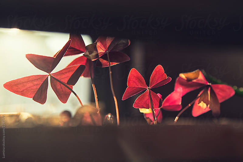 Red Flowers in the Sunlight by Lumina for Stocksy United