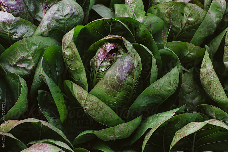 Close up of Radicchio by Holly Clark for Stocksy United