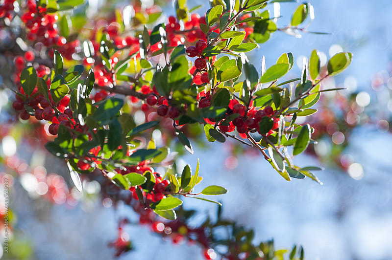Red Berries & Green Leaves Against Blue Sky by Leigh Love for Stocksy United