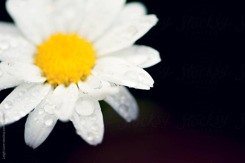 Daisy with Water Droplets by Leigh Love for Stocksy United