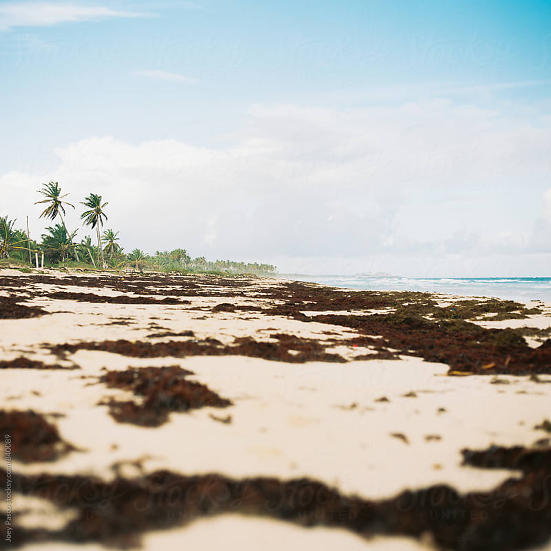 Seaweed washed ashore on white sand Caribbean beach by Joey Pasco for Stocksy United