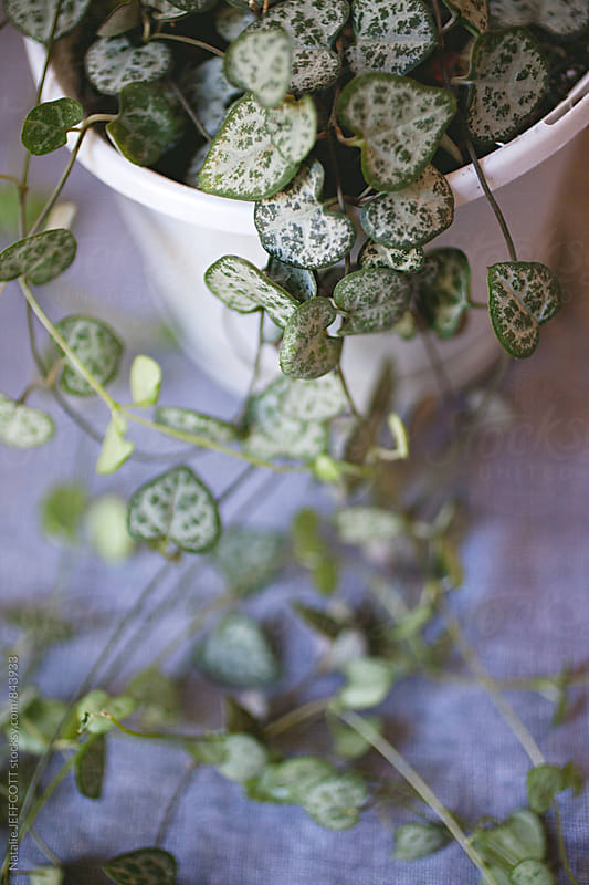 tabletop with grey fabric and indoor love heart plant by Natalie JEFFCOTT for Stocksy United