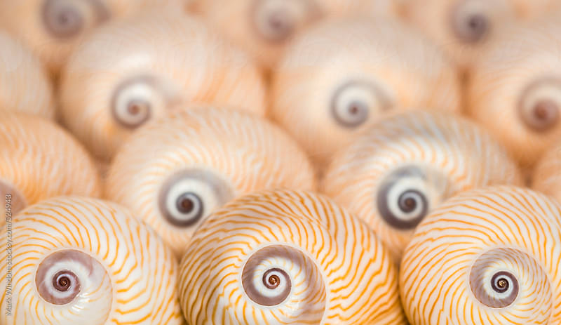 'Lined Moon' Seashells, closeup by Mark Windom for Stocksy United