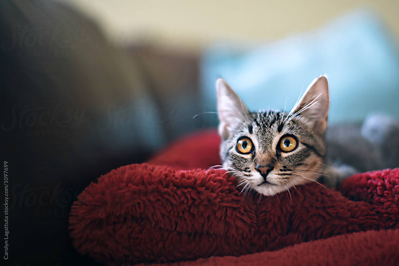 Wide eyed tabby kitten  by Carolyn Lagattuta for Stocksy United