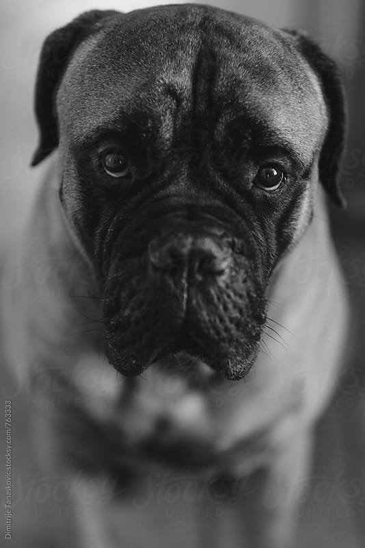 Portrait of bull mastiff dog in black and white by Dimitrije Tanaskovic for Stocksy United