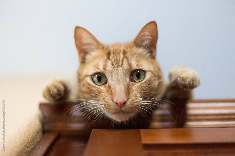 Orange tabby cat looking down  by Amy Covington for Stocksy United
