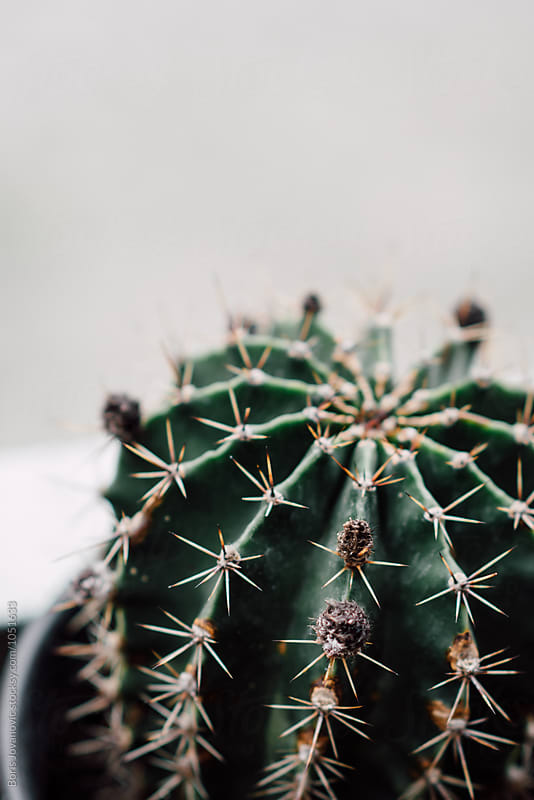 Close up of cactus  by Boris Jovanovic for Stocksy United