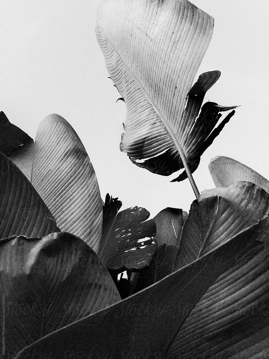 Artsy black and white shot of tropical palm leaves