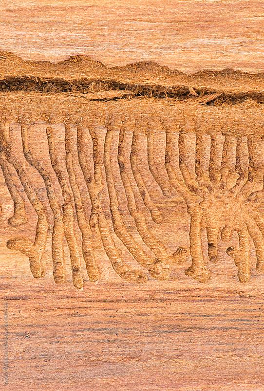 Beetle larvae tracks, closeup by Mark Windom for Stocksy United